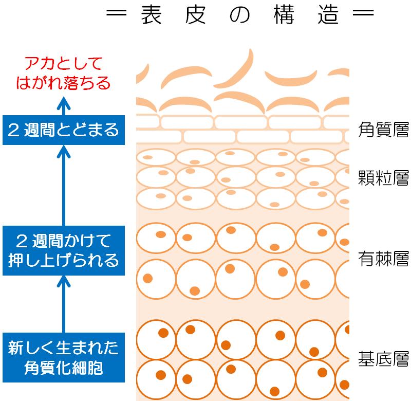 表皮の構造とターンオーバー