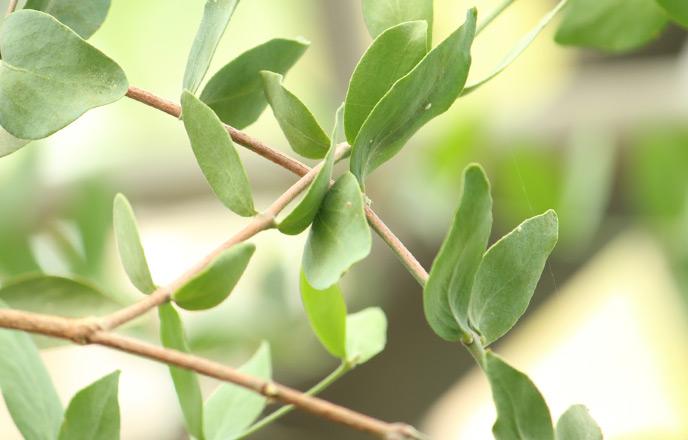 ホホバノ葉