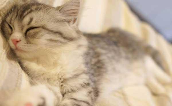 お昼寝するネコ