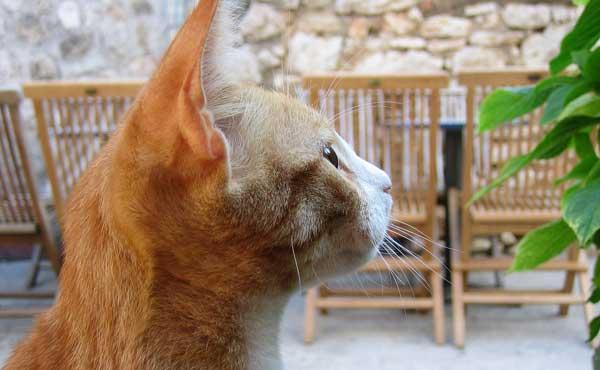 ネコカフェのキャストネコ