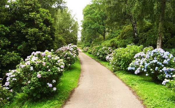 アジサイが咲く道