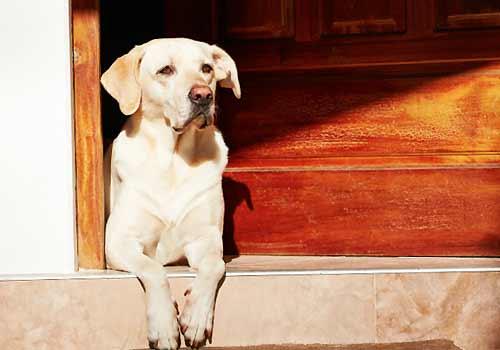 玄関で待つ犬