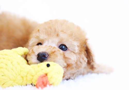 縫いぐるみのおもちゃと遊ぶ子犬