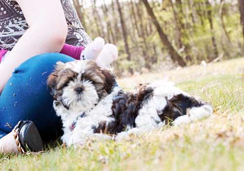 野原でリラックスする子犬