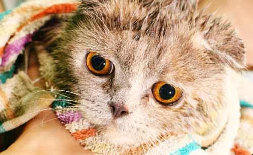 洗ってもらった猫