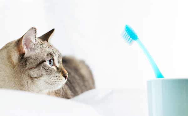 猫の歯磨き・怖い病気予防に欠かせない歯ブラシ練習方法