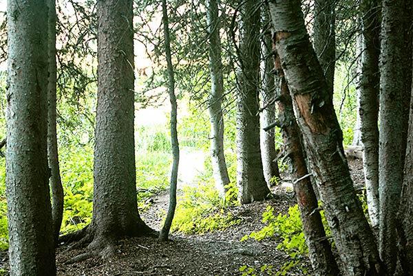 「ブライトン レイク トレイル」の森林