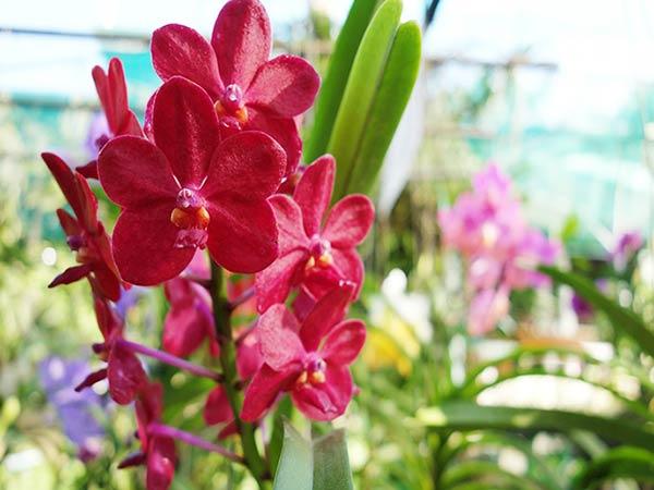 赤くて美しい「ラン」の花、タイ・チェンマイの国花です!