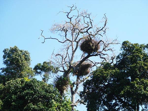 ケアンズと言えばユーカリの木