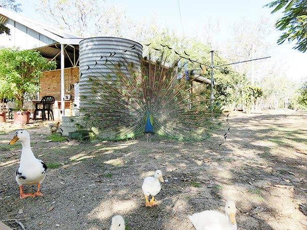 グラナイト・コージのキャンプサイトではゴージャスなクジャクが!