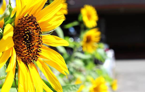 夏の向日葵