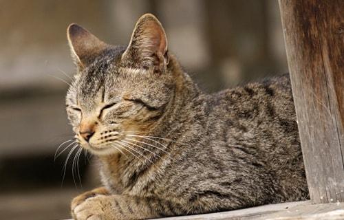 お昼寝しているキジトラ