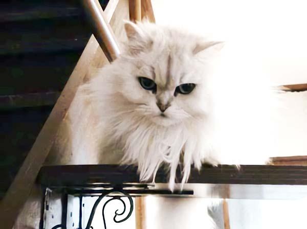 もふもふペルシア猫