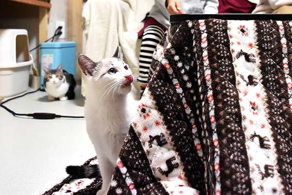 コタツと白猫