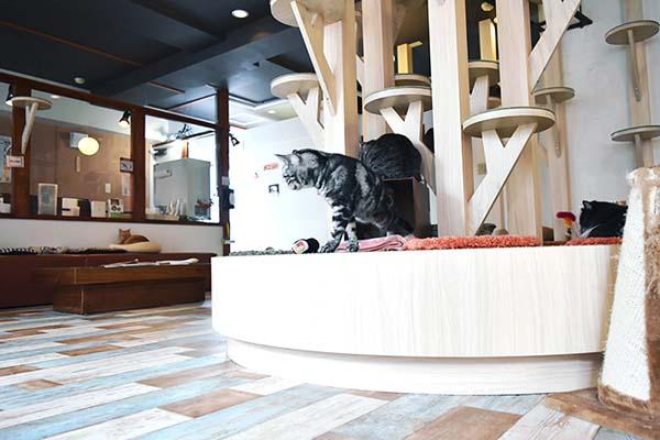 猫カフェ「らぶねこ」のネコ
