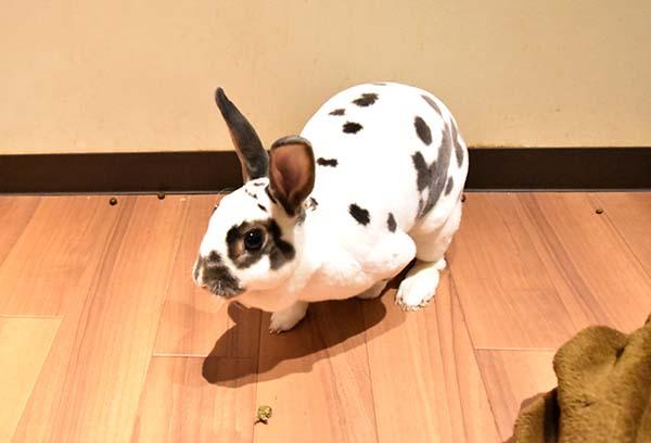 白黒模様が可愛いウサギ