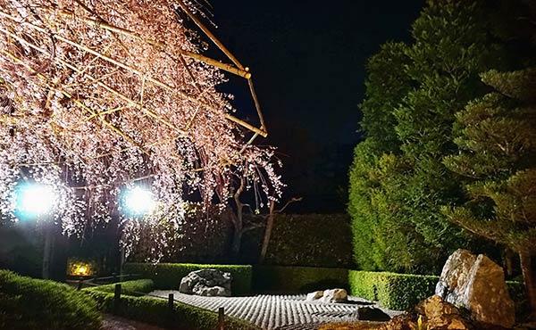 妙心寺退蔵院の特別拝観プラン・桜さく京都満喫レポート