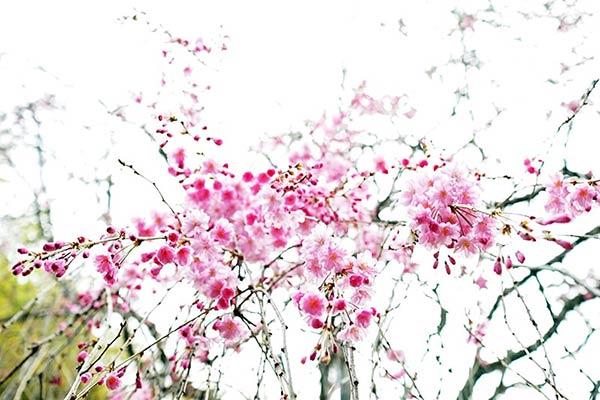 朝の紅枝垂桜
