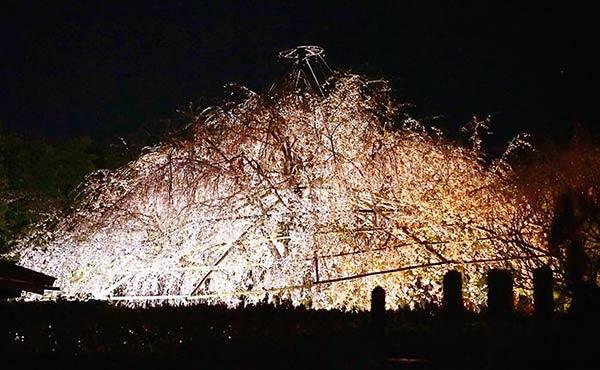 地蔵菩薩の前からみた桜