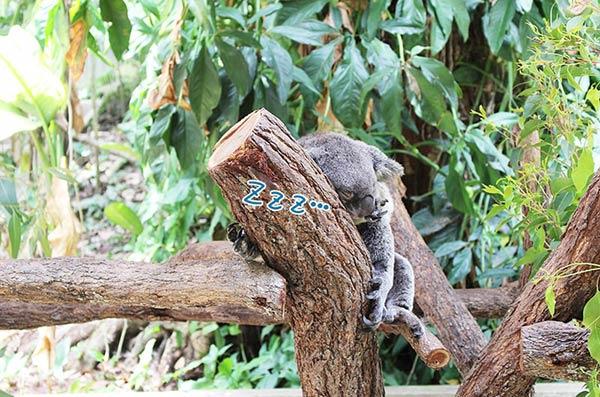 眠たそうなコアラ