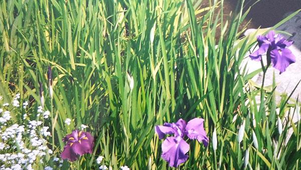 壬生寺の境内に咲くアヤメ