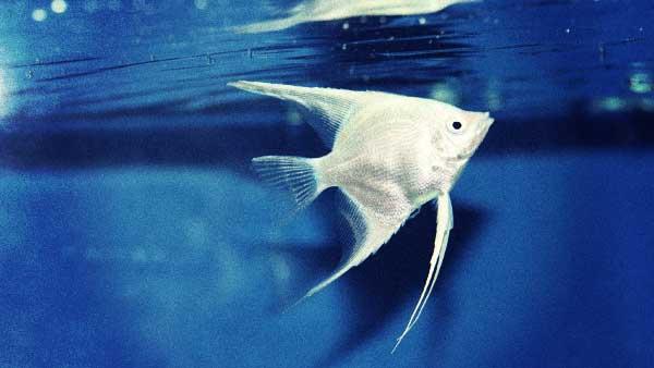 白い熱帯魚
