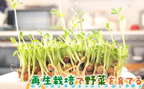 再生栽培で野菜を育てる方法!初心者は豆苗からリボベジを!
