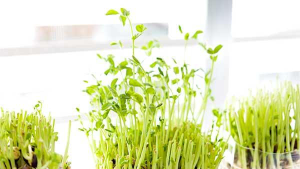 豆苗の再生栽培