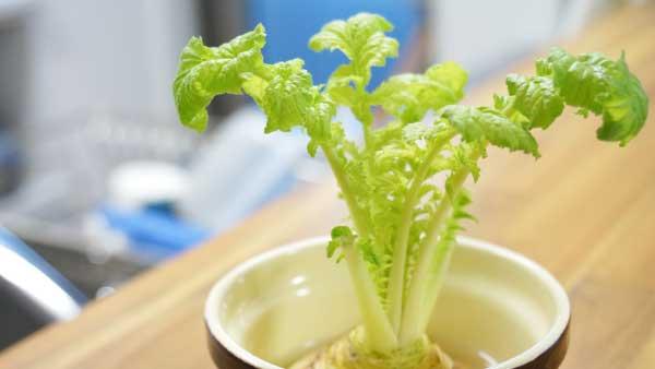 大根の再生栽培