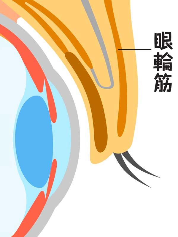 眼輪筋の説明のイラスト