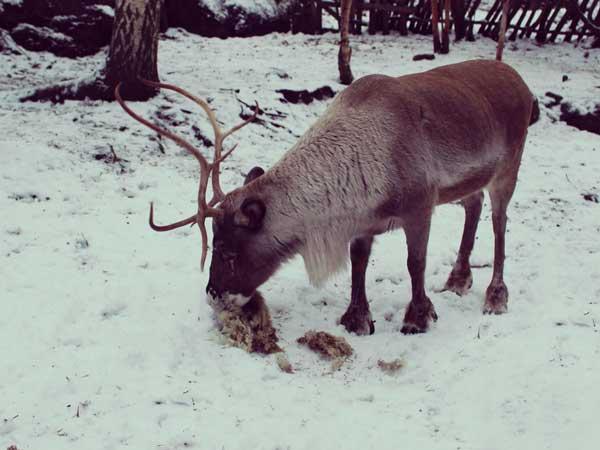 餌を食べるスカンセン敷地内のトナカイ