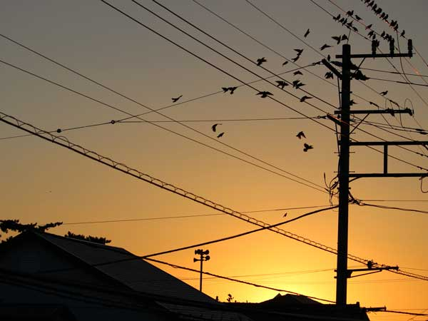朝夕の住宅地の電線に止まっている大群の鳥