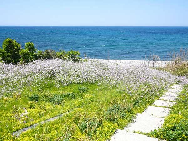 可愛らしい花が咲く赤崎の海沿い