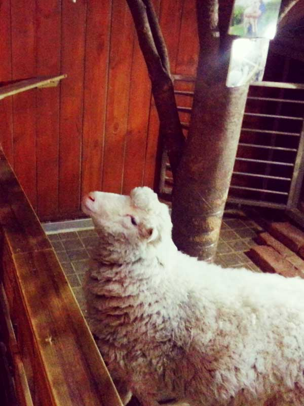 韓国弘大の羊カフェで出迎えてくれた本物の羊