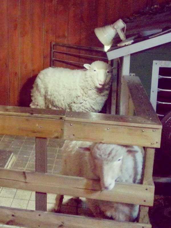 韓国弘大の羊カフェの看板羊2頭