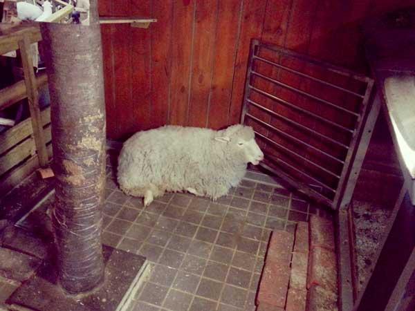 羊カフェ店内で寛いでいる羊