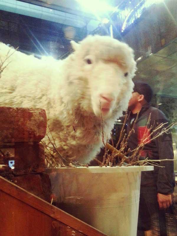 韓国弘大の羊カフェに居るモコモコで可愛い羊と目が合った瞬間